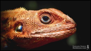 Agama picticauda, the West African