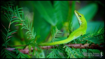 Anolis carolinensis, the Carolina green anole; Lowndes county, Georgia (31 August 2011).