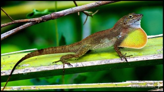 Anolis cristatellus, the Puerto Rican crested anole; Miami-Dade county, Florida (02 September 2011).