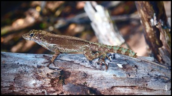 Anolis cristatellus, the Puerto Rican crested anole; Miami-Dade county, Florida (18 March 2017).