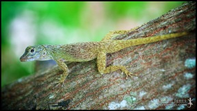 Anolis distichus, the Bark anole; Miami-Dade county, Florida (11 June 2016).