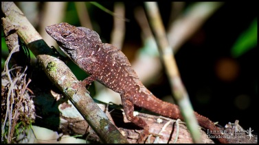 4/6: Huff and puff, show your stuff. Anolis sagrei, the Cuban brown anole; Collier county, Florida (25 May 2012).