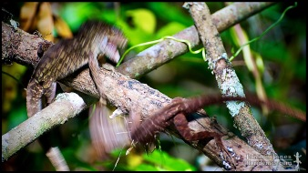 2/6: Action erupts! Anolis sagrei, the Cuban brown anole; Collier county, Florida (25 May 2012).