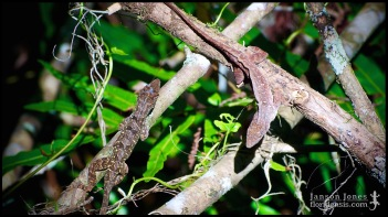 1/6: Poised for action. Anolis sagrei, the Cuban brown anole; Collier county, Florida (25 May 2012).