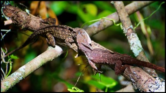 3/6: The LockJaw commences! Anolis sagrei, the Cuban brown anole; Collier county, Florida (25 May 2012).