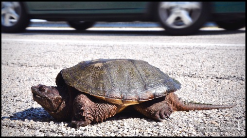 Chelydra serpentina, the Snapping turtle; Miami-Dade county, Florida (13 May 2009).