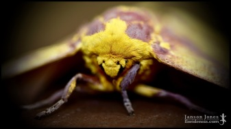 Eacles imperialis, the Imperial moth; Volusia county, Florida (14 October 2017).