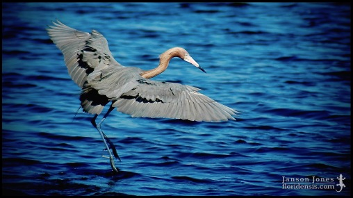 Egretta rufescens, the Reddish egret; Brevard county, Florida (18 March 2006).