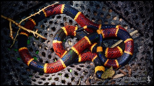 Micrurus fulvius, the Eastern coral snake; Volusia county, Florida (27 June 2019).