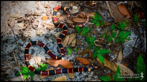 Micrurus fulvius, the Eastern coral snake, and Lampropeltis elapsoides, the Scarlet kingsnake; Volusia county, Florida (27 June 2019).