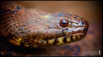 Nerodia taxispilota, the Brown watersnake; Lake county, Florida (01 March 2015).