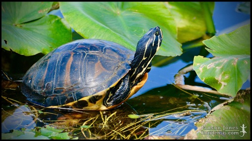 Pseudemys nelsoni, the Florida red-bellied cooter; Miami-Dade county, Florida (22 January 2017).