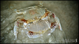 Arenaeus cribrarius, the Speckled swimming crab; Volusia county, Florida (22 May 2014).