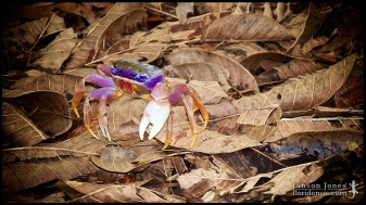 Cardisoma guanhumi, the Blue land crab; Miami-Dade county, Florida (02 September 2011).