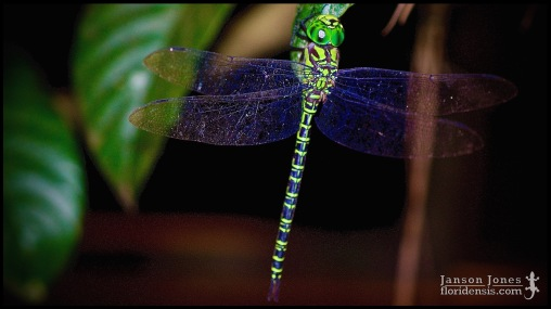 Coryphaeschna ingens, the Regal darner; Volusia county, Florida (27 May 2015).