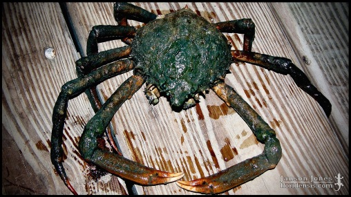 Libinia emarginata, the Portly spider crab; Volusia county, Florida (01 August 2005).