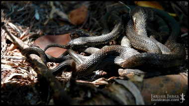 Nerodia clarkii comperssicauda, the Mangrove salt marsh snake; Miami-Dade county, Florida (07 March 2008).