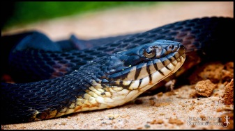Nerodia fasciata, the banded watersnake; Lowndes county, Georgia (05 April 2012).