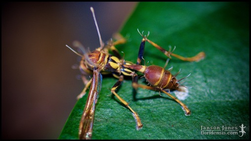 Ophiocordyceps sp. and Mischocyttarus mexicanus cubicola, the neotropical paper wasp; Volusia county, Florida (20 September 2015).