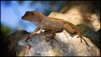 Anolis cristatellus, the Puerto Rican crested anole; Miami-Dade county, Florida (01 January 2010).