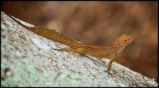 Anolis cristatellus, the Puerto Rican crested anole; Miami-Dade county, Florida (11 June 2016).