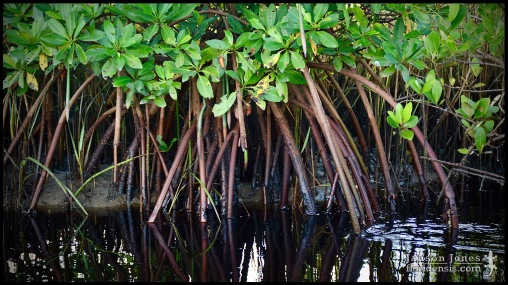 Rhizophora mangle, the Red mangrove; Volusia county, Florida (07 August 2019).