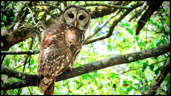 Strix varia, the Barred owl; Collier county, Florida (12 May 2009).