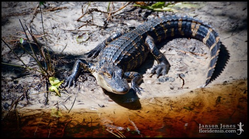 Alligator mississippiensis, the American alligator; Volusia county, Florida (25 May 2019).