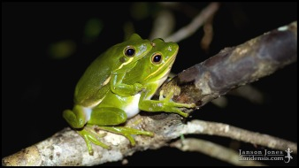 Hyla cinerea, the American green treefrog; Gilchrist county, Florida (12 April 2014).