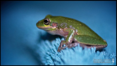 Hyla squirella, the Squirrel treefrog; Lowndes county, Georgia (10 May 2013).