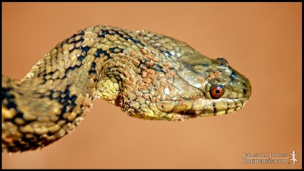 Nerodia rhombifer, the Diamondback watersnake; Cleveland county, Oklahoma (07 July 2007).