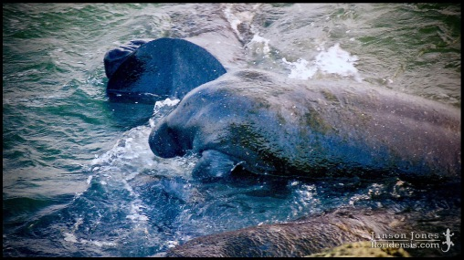 Trichechus manatus, the West Indian manatee; Brevard county, Florida (09 June 1998).