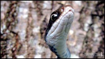 Coluber constrictor priapus, the Southern black racer; Volusia county, Florida (07 June 2005).