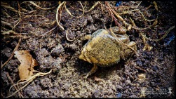 Gastrophryne carolinensis, the Eastern narrowmouth toad; Lake county, Florida (28 June 2014).
