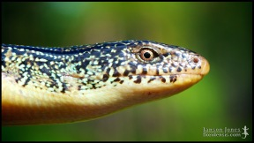 Ophisaurus ventralis, the Eastern glass lizard; Lowndes county, Georgia (01 October 2012).