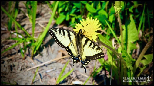 Papilio canadensis, the Canadian tiger swallowtail, photographed in Matanuska-Susitna Borough, Alaska (31 May 2011). Day 01 of the 2011 Roadtrip from Alaska to Florida (Mile 0103 of 7221).