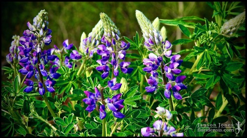 Lupinus arctics, the Arctic lupine, photographed in Matanuska-Susitna Borough, Alaska (31 May 2011). Day 01 of the 2011 Roadtrip from Alaska to Florida (Mile 0163 of 7221).