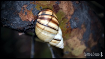 Orthalicus floridensis, the Banded tree snail; Miami-Dade county, Florida (22 January 2017).