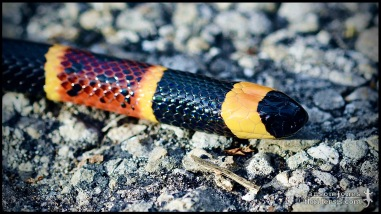 Micrurus fulvius, the Harlequin coral snake; Marion county, Florida (21 October 2017).