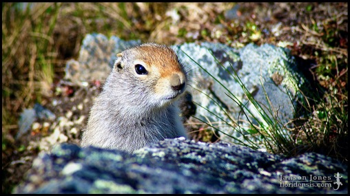 Urocitellus parryii, the Arctic ground squirrel, photographed in Denali Borough, Alaska (31 May 2011). Day 01 of the 2011 Roadtrip from Alaska to Florida (Mile 0253 of 7221).