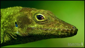 Anolis garmani, the Jamaican giant anole; Miami-Dade county, Florida (11 June 2016).
