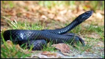 Coluber constrictor priapus, the Southern black racer; Lowndes county, Georgia (15 March 2012).
