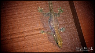 Hemidactylus garnotii, the Garnot's house gecko; Volusia county, Florida (15 October 2014, Nikon D7100).