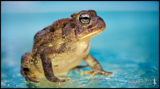 Anaxyrus terrestris, the Southern toad; Lake county, Florida (28 February 2015).