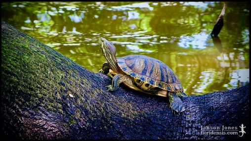 Trachemys scripta elegans, the Red-eared slider; Lake county, Florida (02 May 2004).