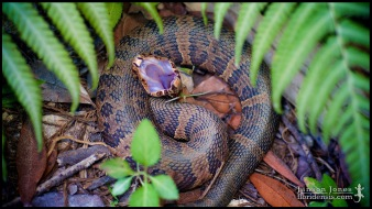 Agkistrodon conanti, the Florida cottonmouth; Monroe county, Florida (19 March 2015).