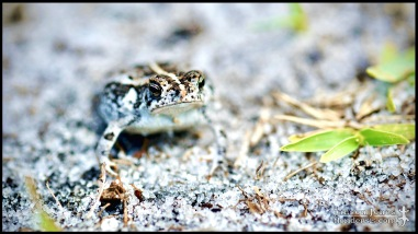 Anaxyrus quercicus, the Oak toad; St. Lucie county, Florida (09 June 2017).