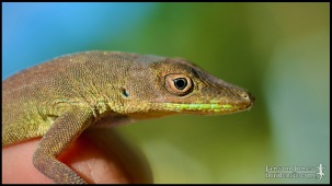 Anolis chlorocyanus, the Hispaniolan green anole; Broward county, Florida (21 January 2017).