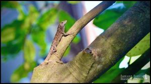 Anolis sagrei, the Cuban brown anole; Volusia county, Florida (04 April 2020).