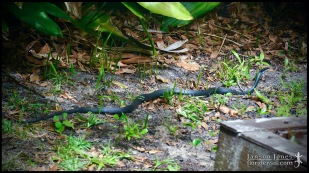 Coluber constrictor priapus, the Southern black racer; Volusia county, Florida (06 April 2020).